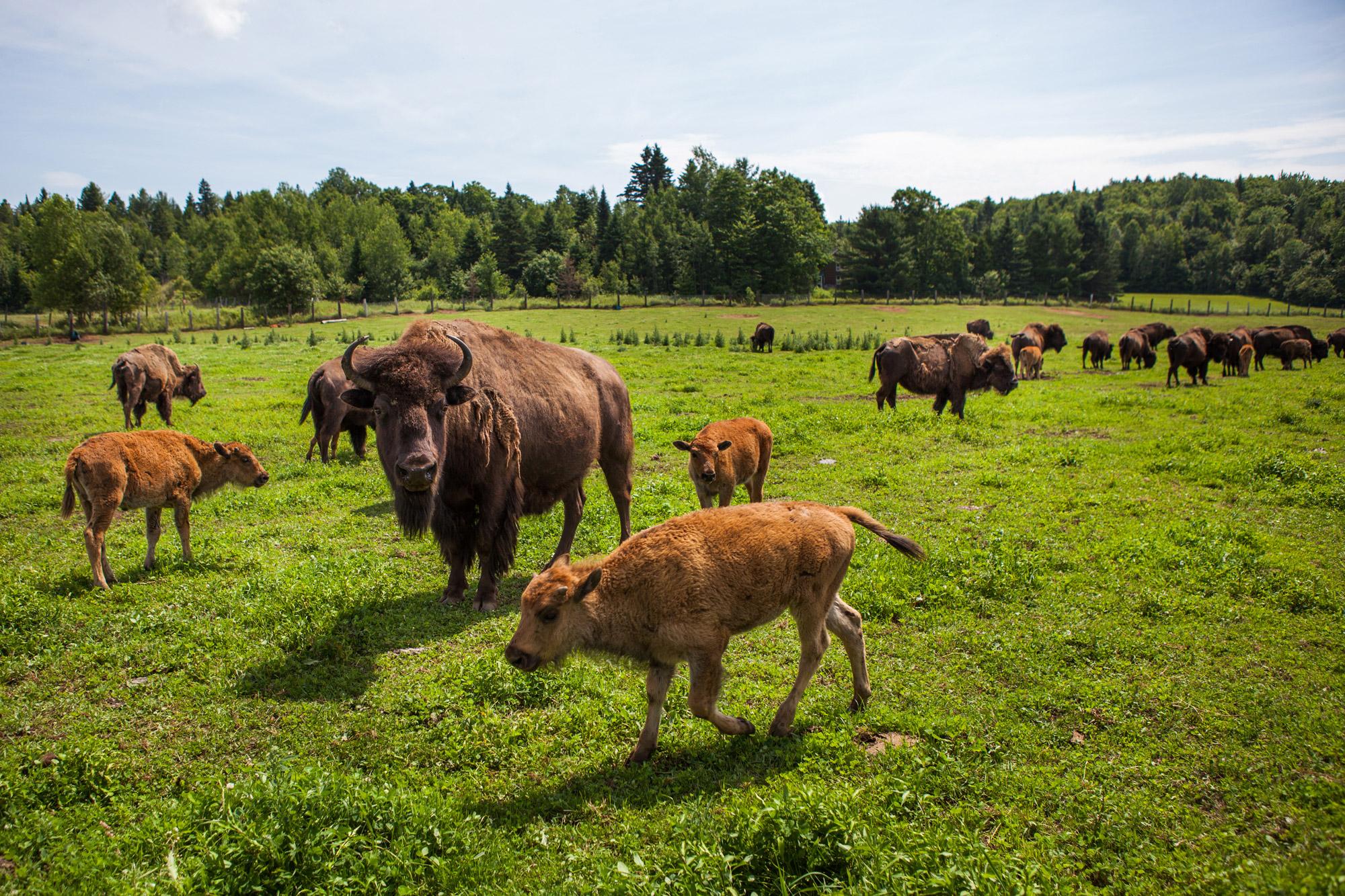 terre-des-bisons006