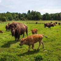 terre-bison-olivier-croteau-2